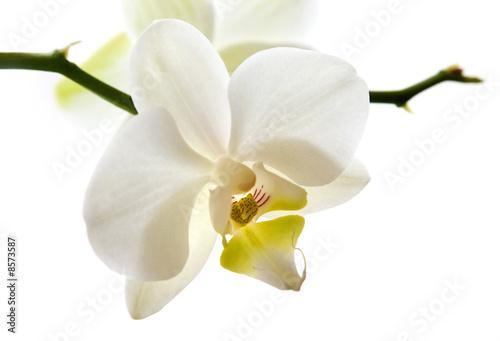 Weisse Orchidee Blüte
