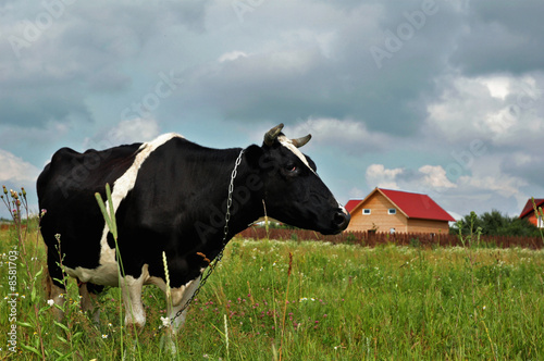 Profile of a black and white cow standing in green field.