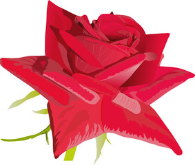 red single rose illustration