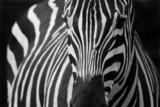 Fototapeta safari - zoo - Dziki Ssak