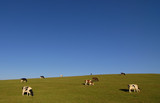Hill country with sparse grazing cows poster