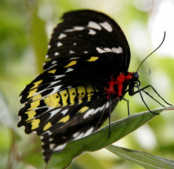 standing butterfly