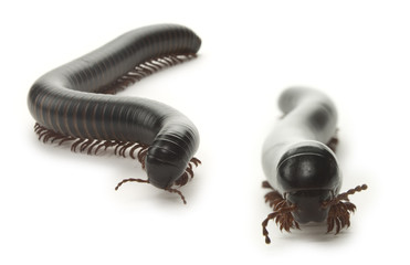 Giant Millipedes Front View