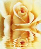 Fototapeta płatek - żółty - Kwiat