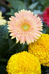 Gerbera and marigold flowers