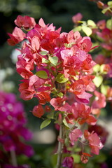 Bougainvilla flowers