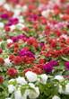 Erotakia flowers
