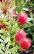 Kalistimonus flowers