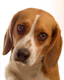 two year old male beagle on white background poster