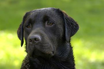 Chien de race Labrador