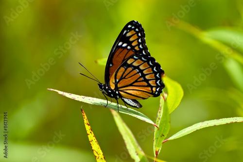 Deurstickers Vlinder Viceroy Butterfly