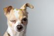 Leinwanddruck Bild - Chihuahua Wink