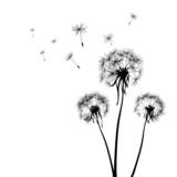 Fototapety dandelions