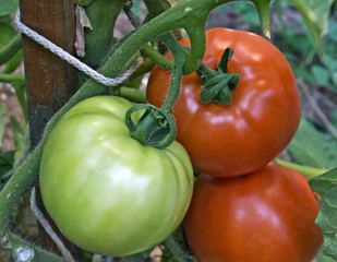 Red & green tomatoes