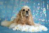 American Cocker Spaniel lying down in the daisies poster