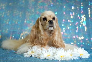 American Cocker Spaniel lying down in the daisies