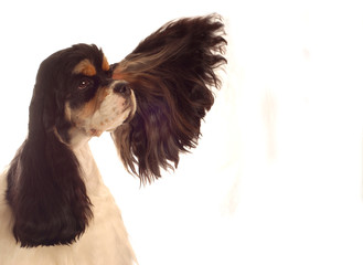 american cocker spaniel with ear flying out