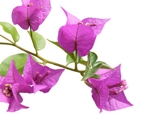 flower of bougainvillier