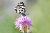 BUtterfly - Melanargia galathea in natural bokeh poster