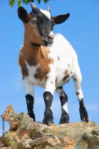 Poster Ezel chèvre de montagne