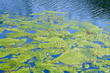 canvas print picture - Algae