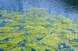 Leinwanddruck Bild - Algae