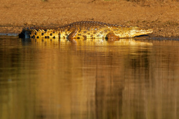 Nile crocodile, Kruger National Park, South Africa
