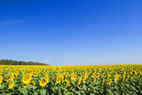 slender rows of sunflowers poster
