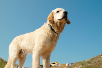 Golden retriever on the coast.