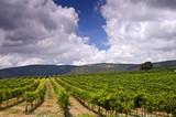 vineyards in the Galilee