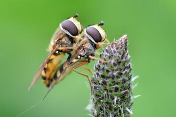 Accoppiamento insetti