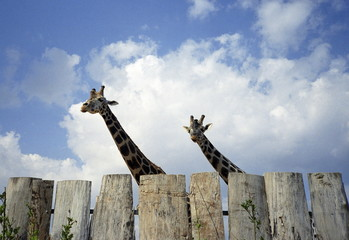 Giraffes behind fence