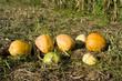 Kürbis. Pumpkin