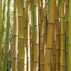 bambous jaunes