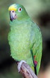 Blue fronted amazon bird