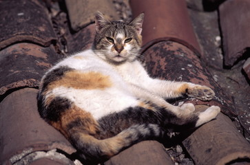 Cat lying on a tile roof