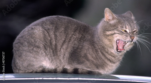 Cat on car roof;yawning