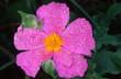 Cistus creticus flower