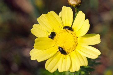 Yellow daisy with insects