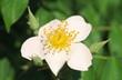 Sorbus minima flower