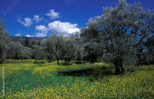 Olive trees in a meadow