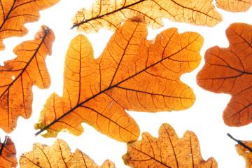 Dry oak leaves