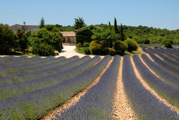 Farmhouse and lavender field in the Provence, France