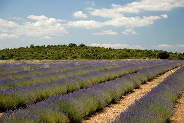 Lavender field in the Provence, France