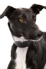 Beautiful Black & White Greyhound