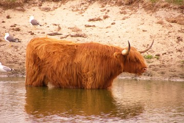 A scottisch Highland cow