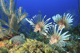 Common Lionfishes poster