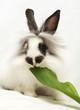 Leinwandbild Motiv Beautiful dwarfish rabbit