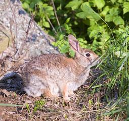 bunny eating grass