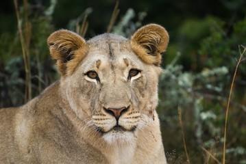 A Lioness confides in the photographer
